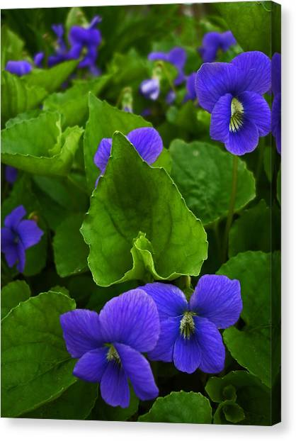 Spring Violets Canvas Print by Yvonne Scott