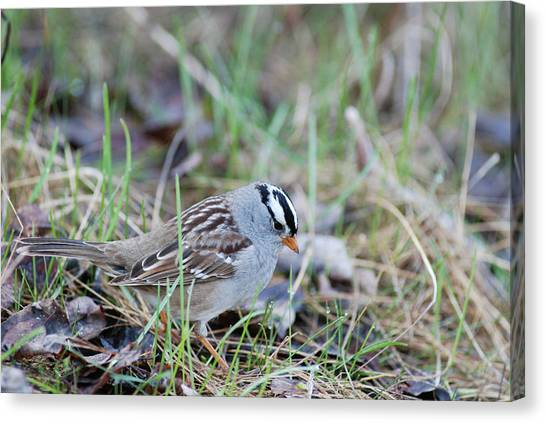 Spring White Crowned Sparrow Canvas Print