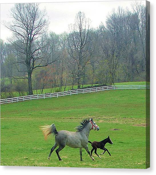Springs First Prance Canvas Print by Heather  Boyd