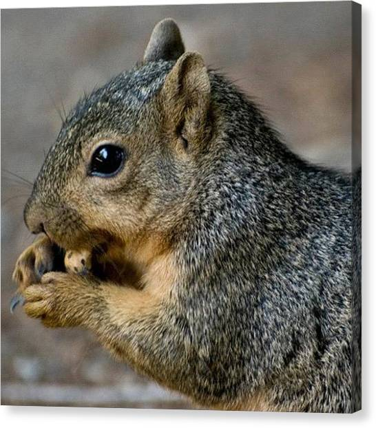 Squirrels Canvas Print - #squirrel #eating #nuts #arboretum by Michael Lynch
