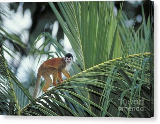 Costa Rican Canvas Print - Squirrel Monkey by Gregory G Dimijian