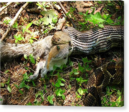 Timber Rattlesnakes Canvas Print - Squirrel's End by Doug McPherson