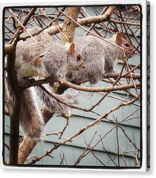 Squirrels Canvas Print - Squirrely.... #nature #igers #igdaily by Monica Hart