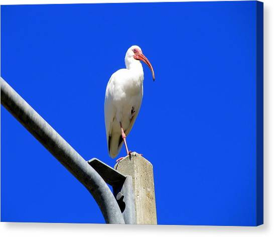 Standing Ibis Canvas Print