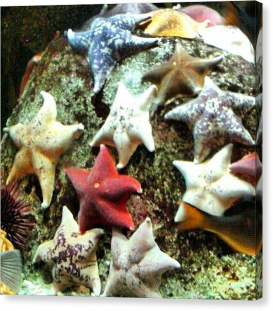 Aquariums Canvas Print - Starfish + Pgh Zoo * Aquarium by Elisa Franzetta
