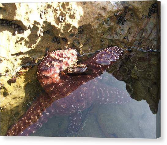 Starfish Ca Tidepools Canvas Print by Daniel Small