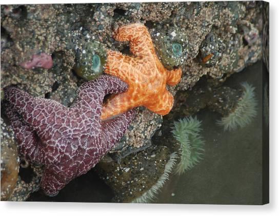 Starfish Pair I Canvas Print
