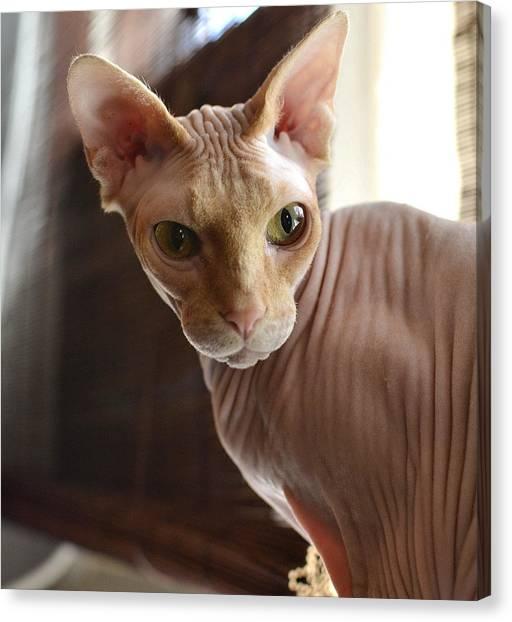 Sphynx Cats Canvas Print - Staring Sphynx by Fraida Gutovich