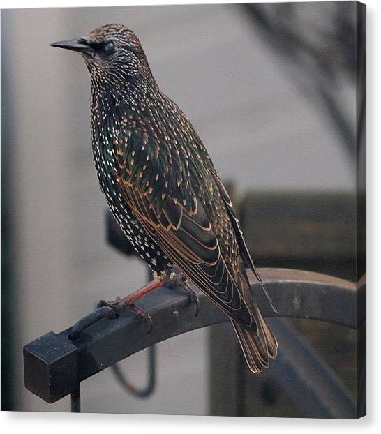 Starlings Canvas Print - Starling by Mike Redrobe