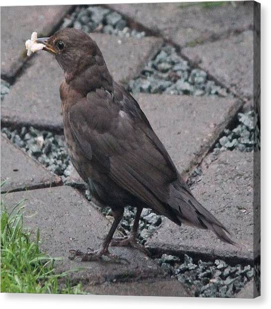 Starlings Canvas Print - Starling With Some Bacon Rind by Mike Redrobe