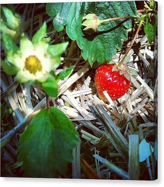 Strawberries Canvas Print - #stawberry #strawberries #farm by Crystal LaTessa