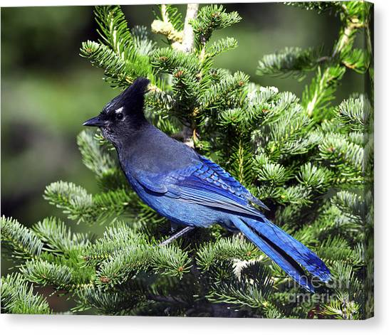 Bluejays Canvas Print - Stellers Jay by Sharon Talson