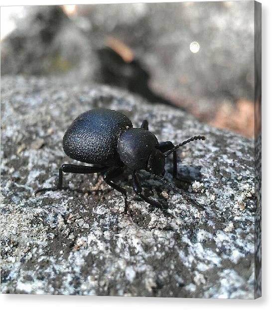 Beetles Canvas Print - Stinky by Scott Freeman
