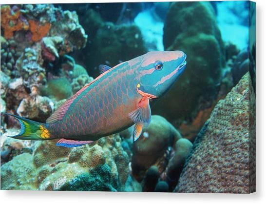Stoplights Canvas Print - Stoplight Parrotfish Supermale by Georgette Douwma