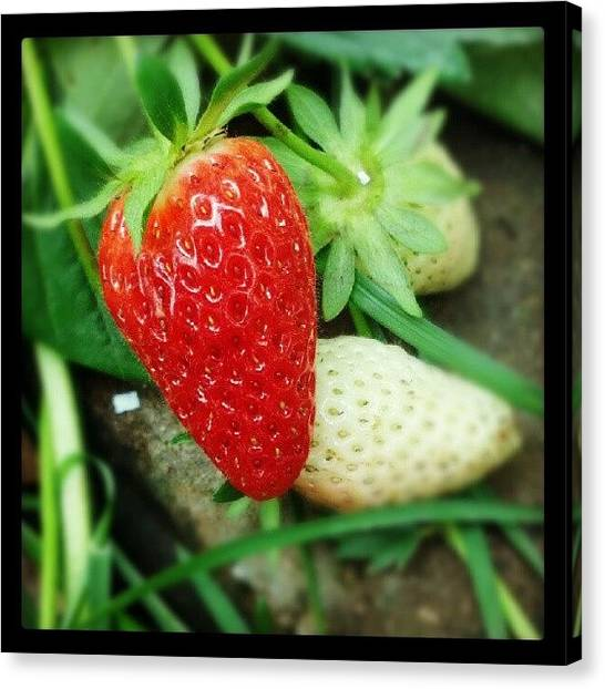 Strawberries Canvas Print - #strawberries In My #garden by Natalia D