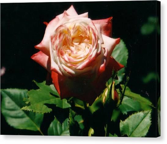 Strawberry Rose Canvas Print