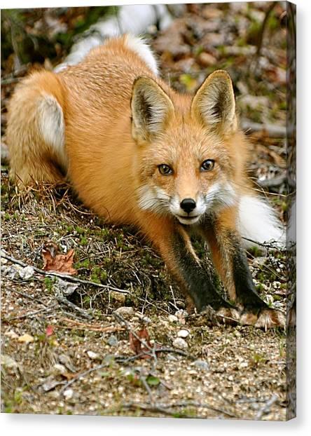 Stretching Fox Canvas Print