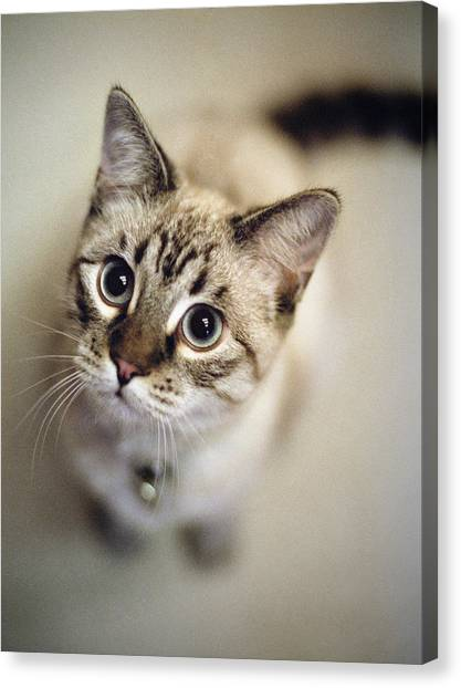 Striped Cat Looking Up Canvas Print
