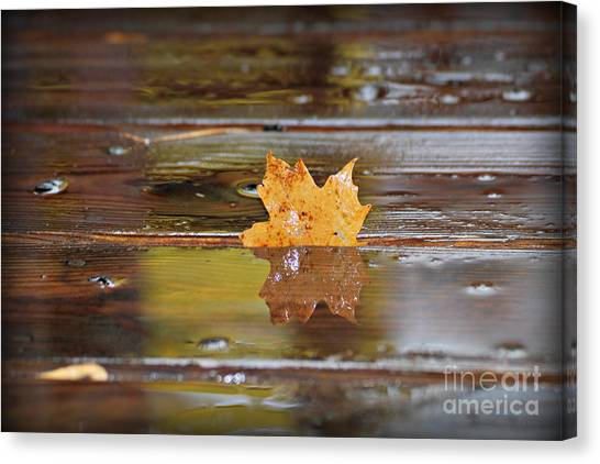 Stuck Maple Leaf Canvas Print