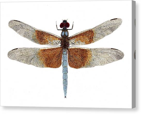 Study Of A Female Widow Skimmer Dragonfly Canvas Print