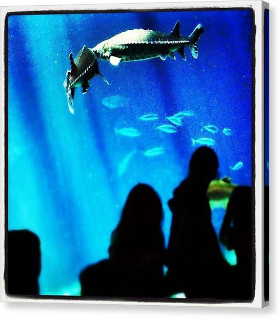 Fish Tanks Canvas Print - Sturgeons #sturgeon #fish #aquarium by Robert Campbell