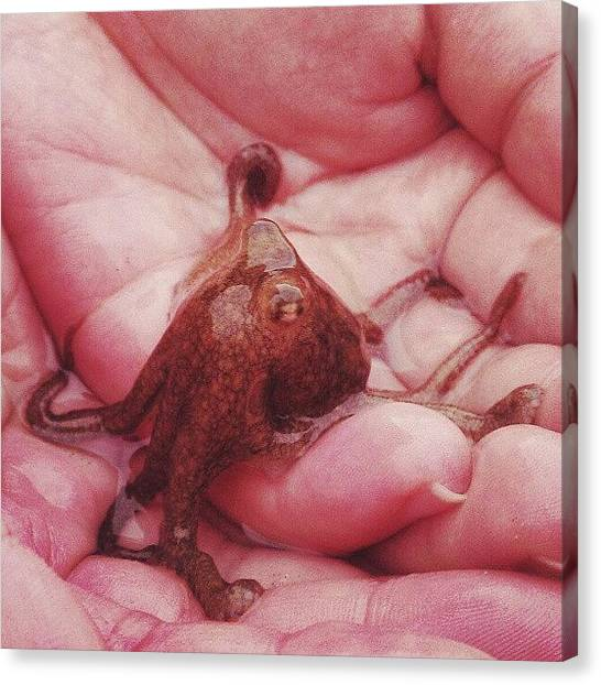 Octopus Canvas Print - Success! Amidst The Many Sea Hares, Gf by Michael Amos