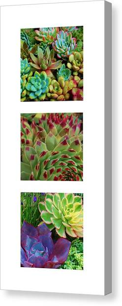 Succulent Trio Canvas Print