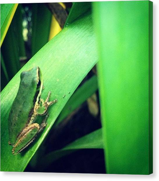 Frogs Canvas Print - Such A Cute Froggy!! It Was Smaller by Vincy S
