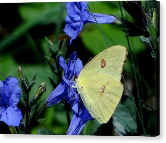 Sulphur Butterfly On Wildflower Canvas Print by Betty Berard