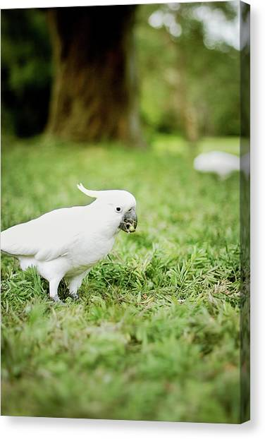 Cockatoo Canvas Print - Sulphur Crested Cockatoo by Helen Yin