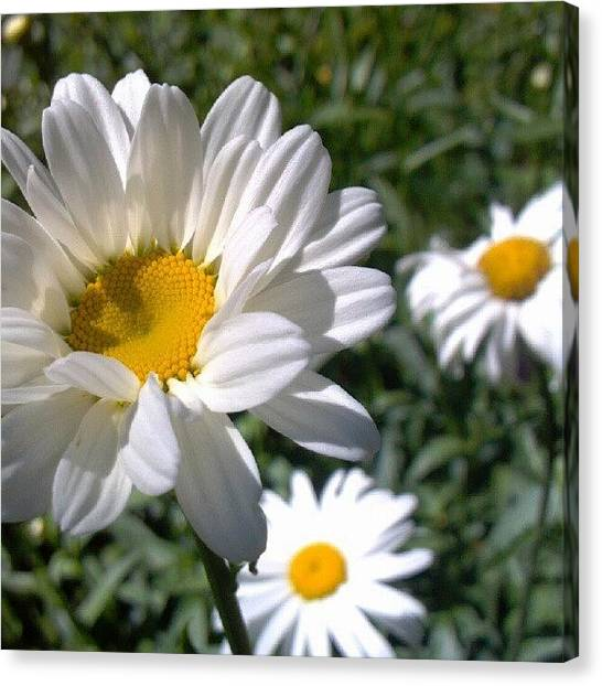 Droid Canvas Print - #summer #daisy #garden #flower #bloom by Carla From Central Va  Usa
