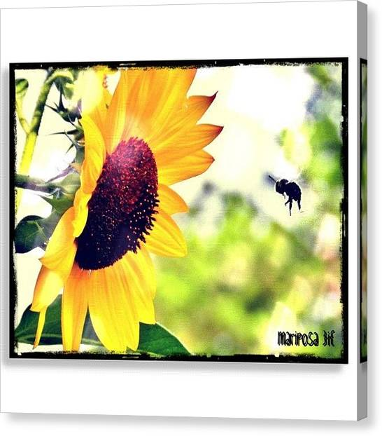 Sunflowers Canvas Print - Summer Fling by Mari Posa