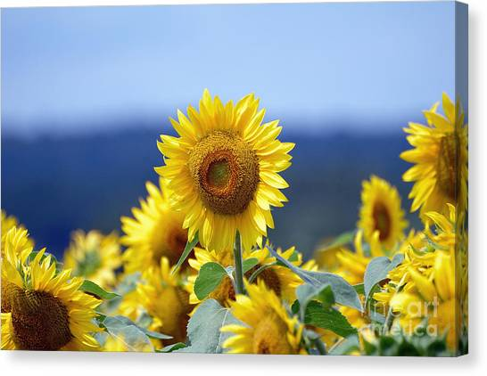 Summer Gold Canvas Print