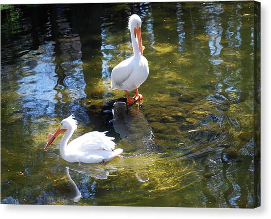 Summer White Pelican Canvas Print