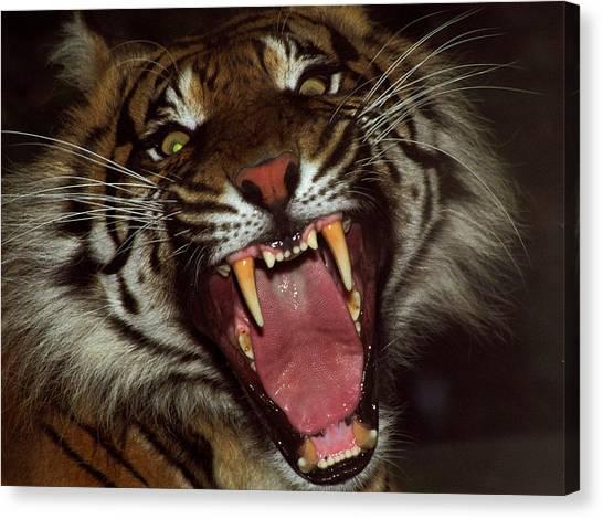 Sumtran Tiger Canvas Print by Kurt Weiss