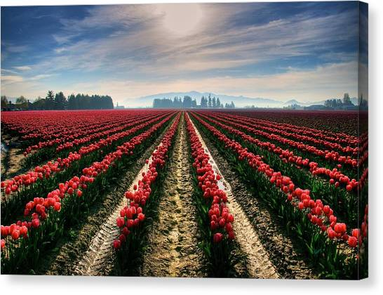 Sun Kissed Tulips Canvas Print