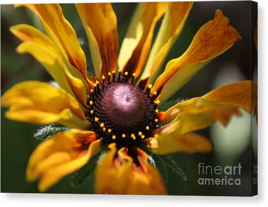 Sun On Flower Canvas Print by David Taylor