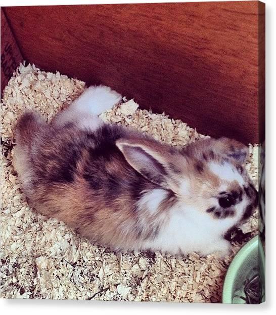 Rabbits Canvas Print - #sunbathing #rabbit #rita #bunny #tail by Laura Hindle