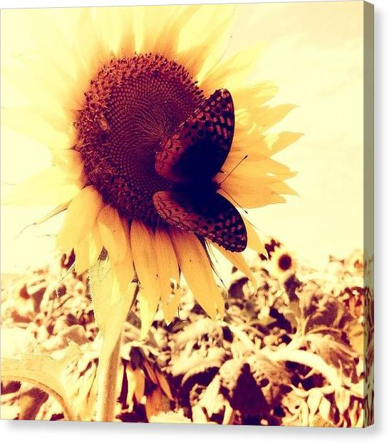 Kansas Canvas Print - Sunflower And Butterfly by Love Bird Photo