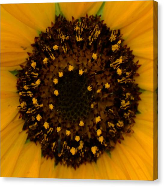 Sunflower Burst Canvas Print by Dakota Light Photography By Dakota