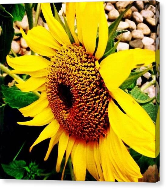 Rock Canvas Print - #sunflower #flower #sun #yellow #green by Katie Williams