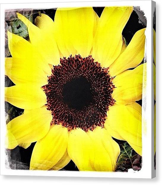 Sunflowers Canvas Print - Sunflower #flower #sunflower by Shelley Walsh