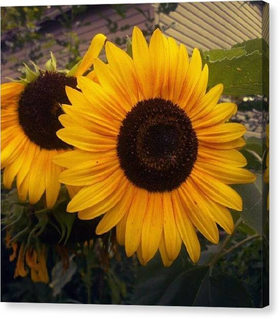 Droid Canvas Print - #sunflower #july #flower #photo #yellow by Alberto Chavez