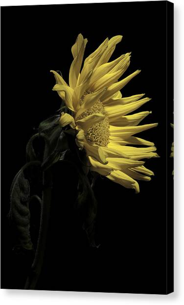 Sunflower Canvas Print by Nathaniel Kolby