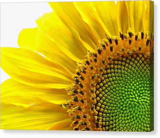 Sunflower Segments Canvas Print