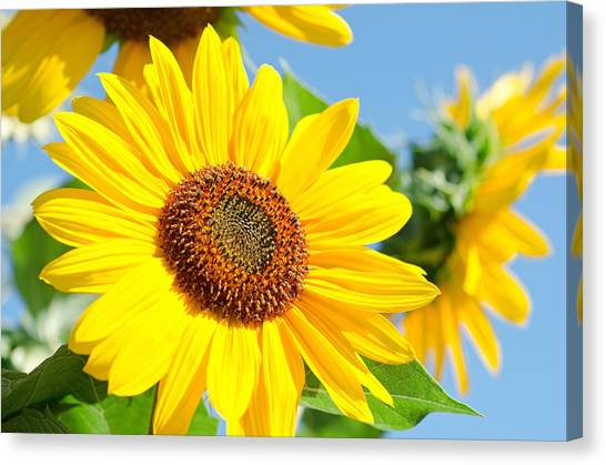 Canvas Print featuring the photograph Sunflower Study IIi by Margaret Pitcher
