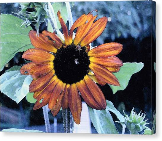 Sunflower With Bee Canvas Print by Eunice Olson