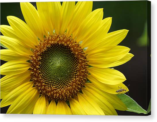 Sunflower With Insect Canvas Print