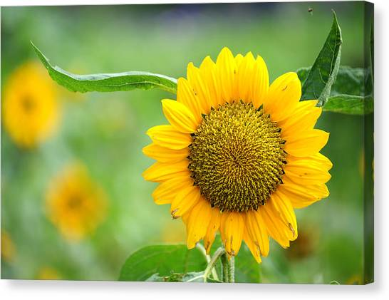 Canvas Print featuring the photograph Sunflower by Yew Kwang