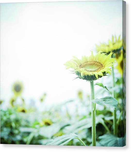 Sunflowers Canvas Print - Sunflower by Yoshika Sakai